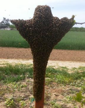 buy queen bees online