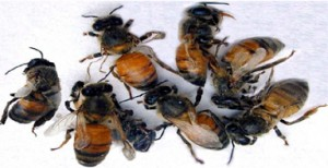 bee colony collapse protection for honey bees