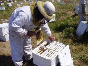 queen bee breeders API Holdings Atwater California