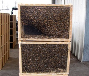 best queen bee rearing process